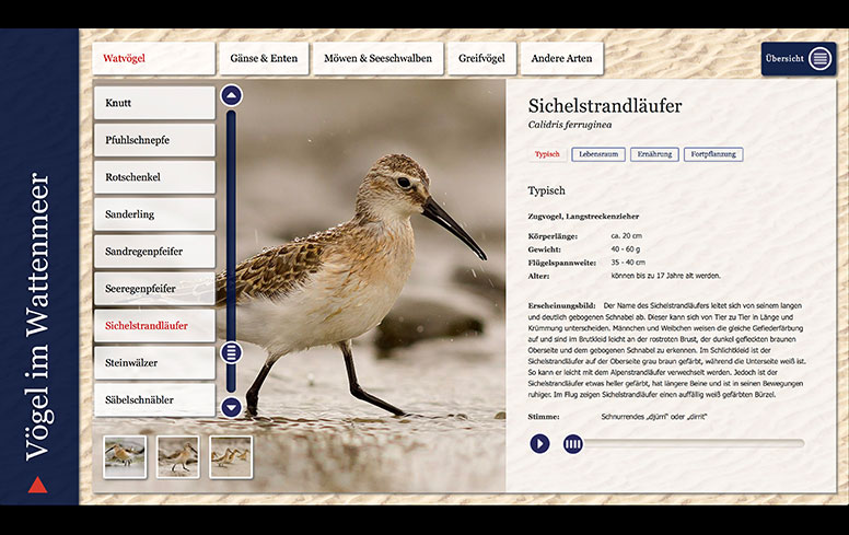 Vögel im Wattenmeer Multimar Sichelstrandläufer